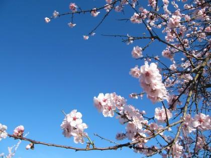 Mandelöl gewonnen aus Mandeblüten ist in vielen Kosmetika enthalten.